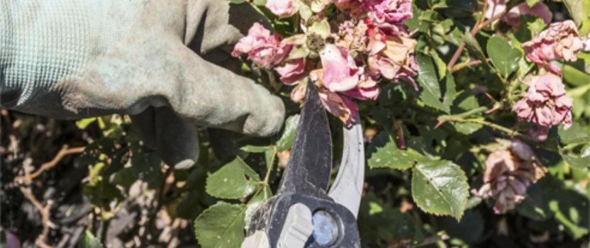 Deadheading – the Secret to Better Flowering Shrubs