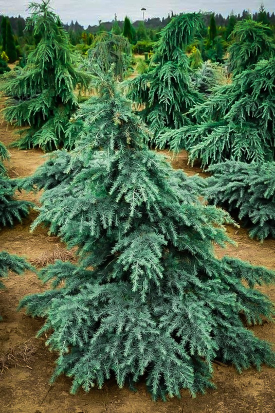 Divinely Blue Deodar Cedar Tree For Sale Online The Tree