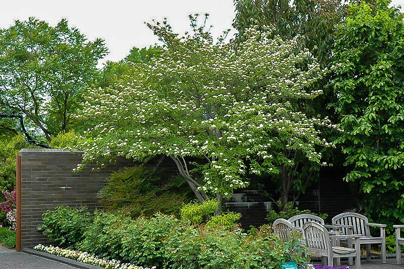 Stellar Pink Dogwood Tree