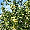 Dorsett Golden Apple Tree Branches
