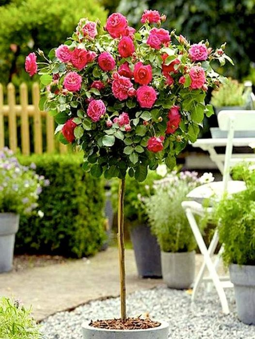 Buy Knockout Roses Shop Double Knockout Roses Online