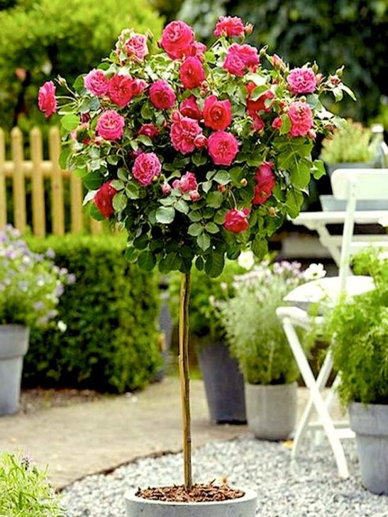 Double Pink Knockout Rose Tree