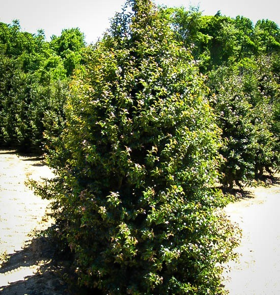 Dragon Lady Holly Trees For Sale Online The Tree Center