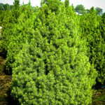 Dwarf Alberta Spruce Tree