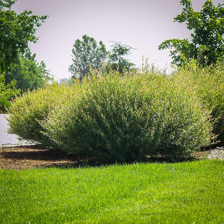 Dwarf Blue Arctic Willow erosion control. Ornamental shrub