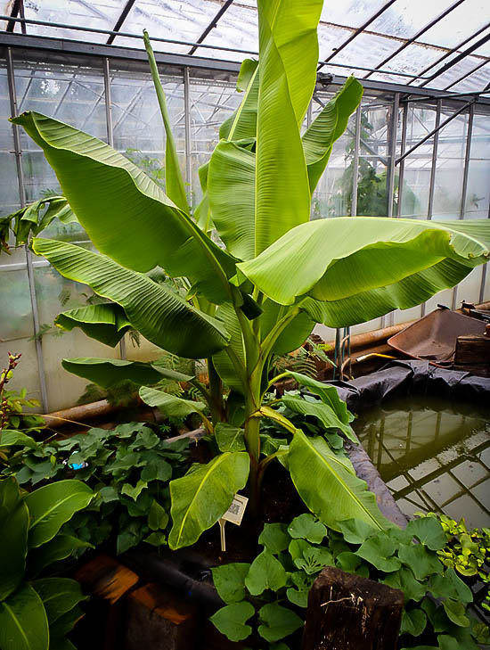 Dwarf Cavendish Banana Trees For Sale The Tree Center