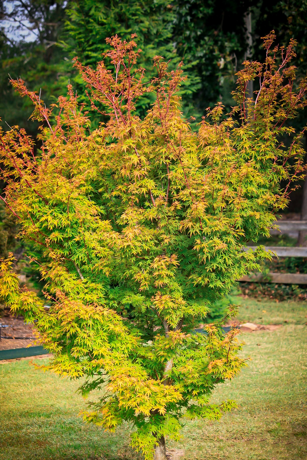 Dwarf Coral Bark Japanese Maples For Sale Online The Tree Center