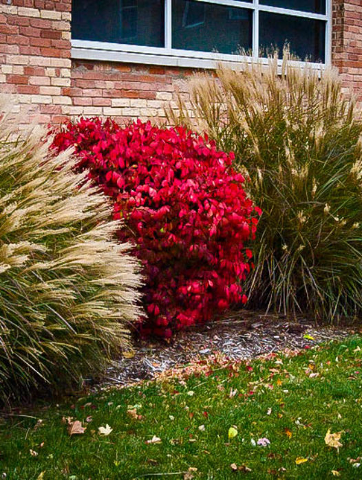 Dwarf Compact Burning Bush
