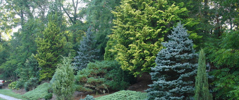 7 Great Evergreens for Winter Interest