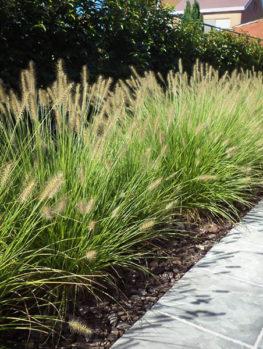 Dwarf Hameln Fountain Grass