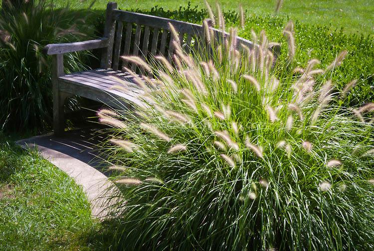 Dwarf Hameln Fountain Grass For Sale Online The Tree Center