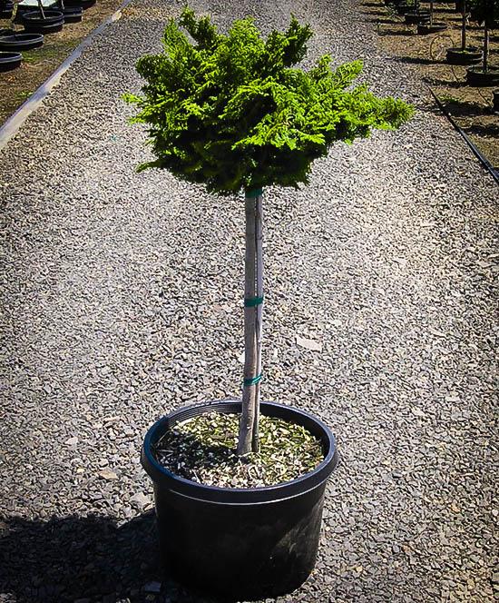 Tree Form Dwarf Hinoki Cypress
