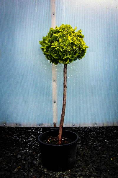 Dwarf Hinoki Cypress Tree Form