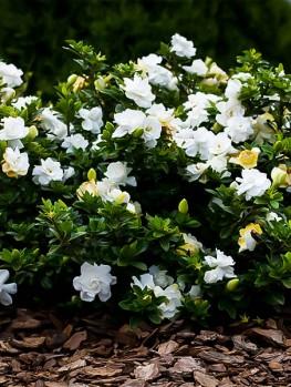 Buy Gardenias Order Gardenia Shrubs Online The Tree Center