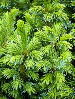 Dwarf Serbian Spruce Tree
