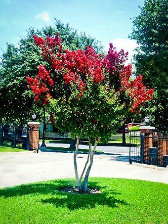 Dynamite Crape Myrtle Tree