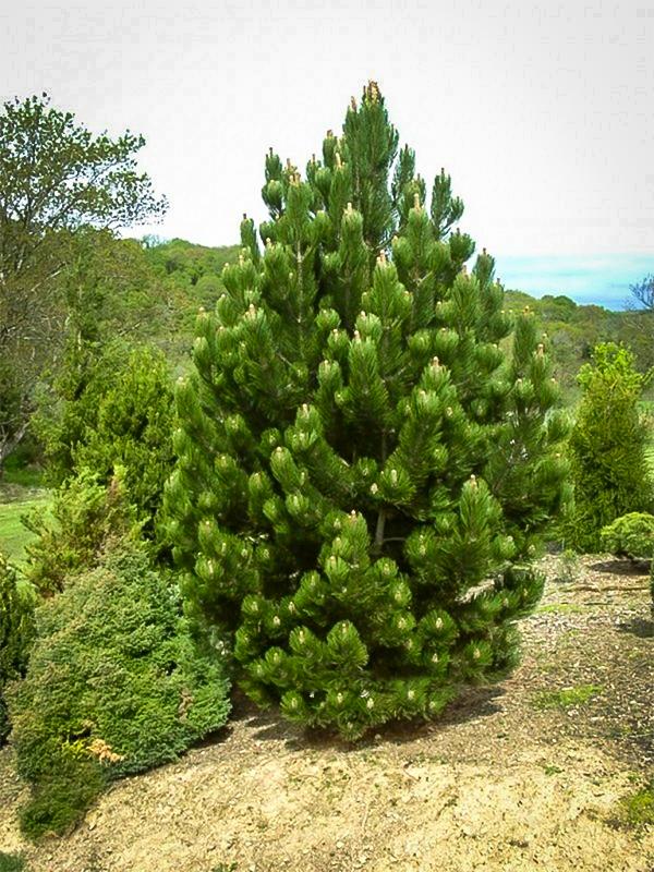 Eastern White Pine