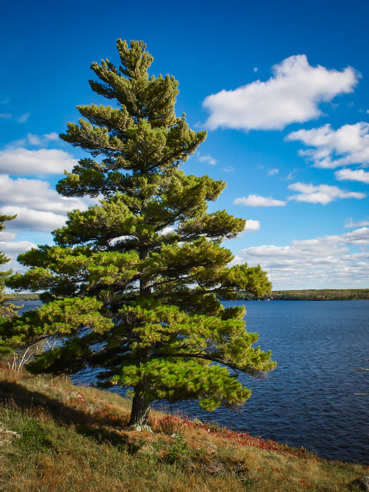 Eastern White Pine Trees For Sale | The Tree Center