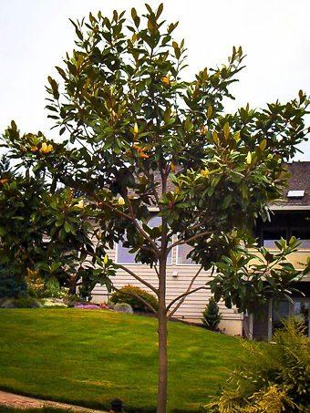 Edith Bogue Magnolia Tree