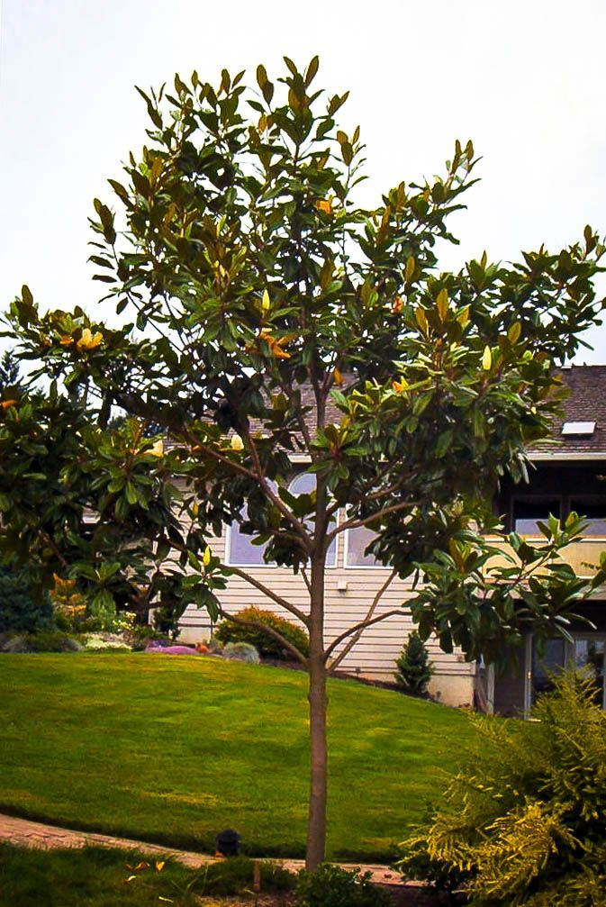 Southern Magnolia Edith Bogue For Sale Online The Tree Center