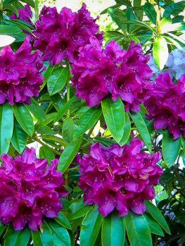 Purple Rhododendron Edith Bosley