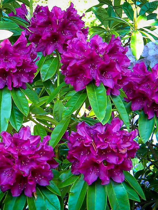 Purple Rhododendron Edith Bosley