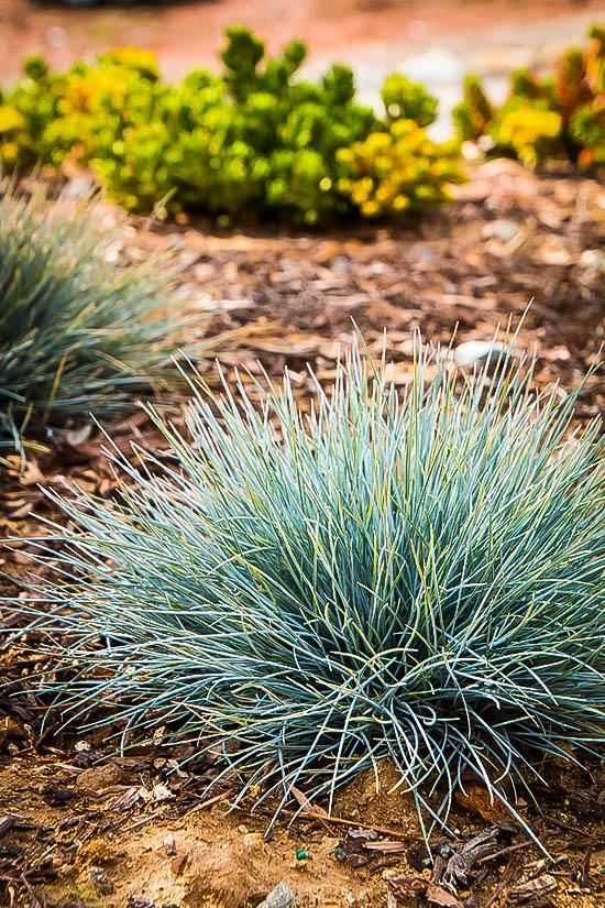 Elijah Blue Fescue Grass For Sale Online The Tree Center