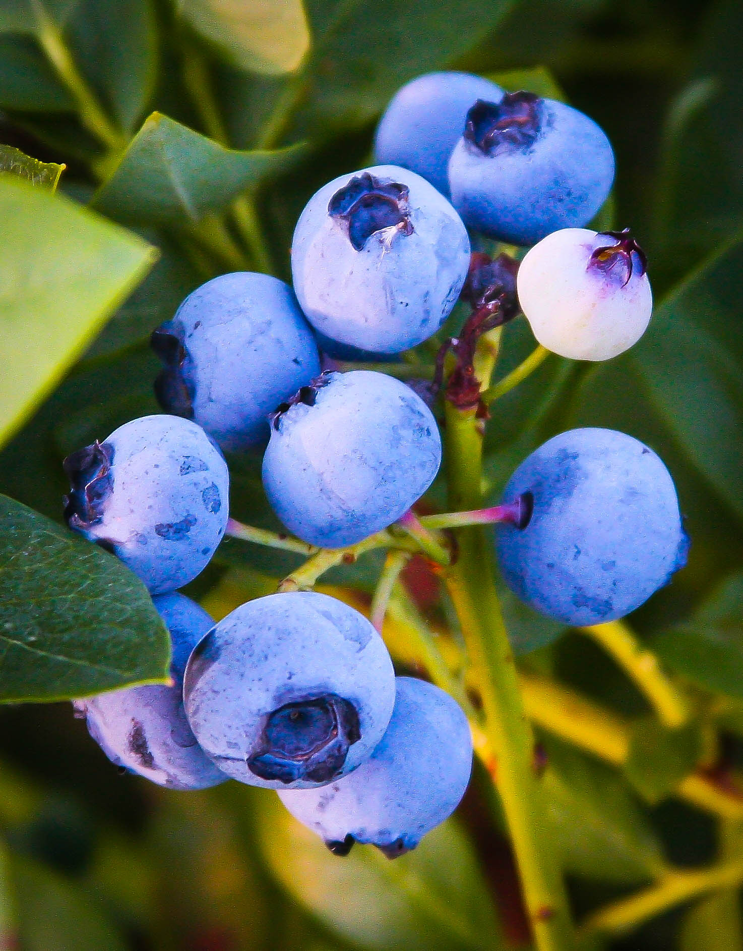 Buy Emerald Blueberry Bushes Online The Tree Center