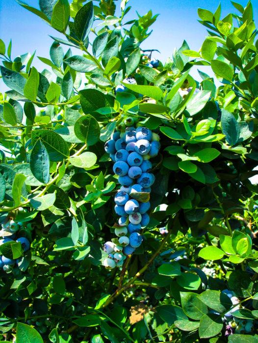 Emerald Blueberry Bush