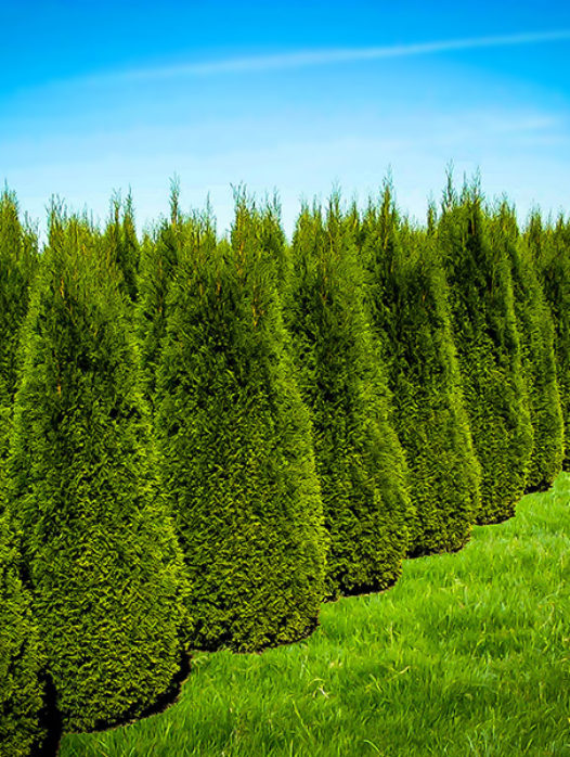 Trees Online With Free Shipping The Tree Center