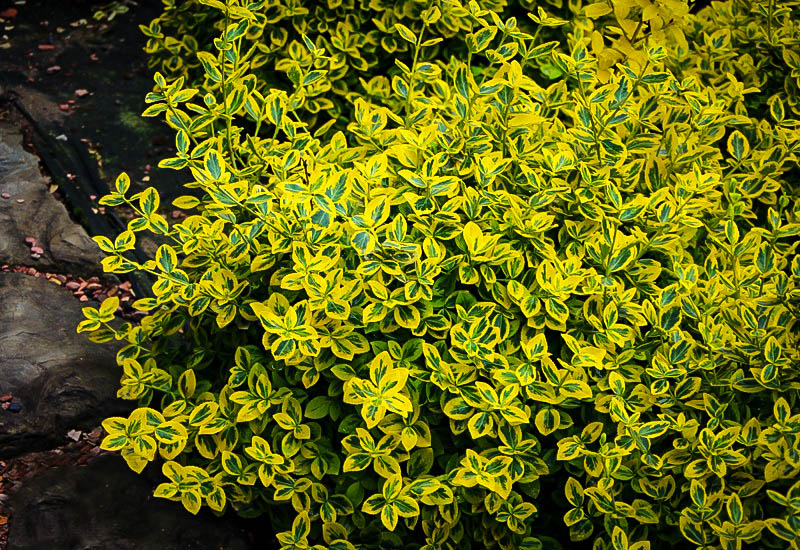 Emerald N Gold Euonymus Wintercreeper For Sale Online