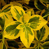 Emerald N Gold Euonymous Leaves