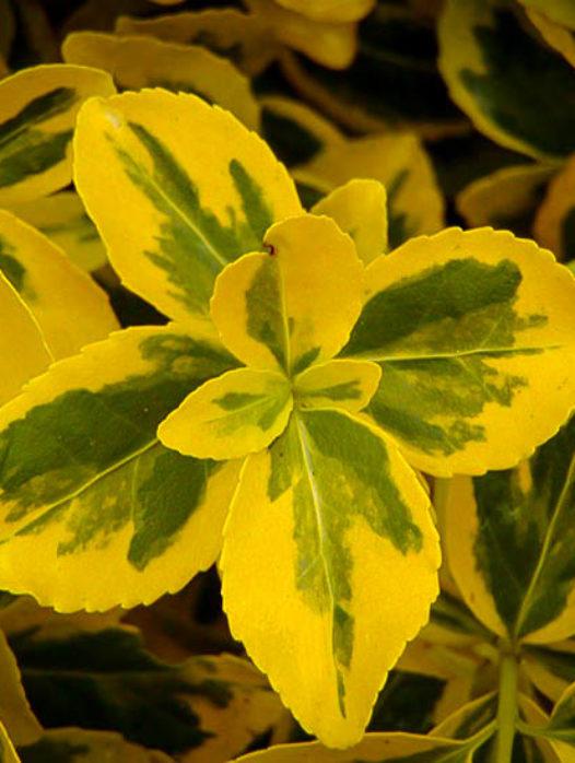 Emerald N Gold Euonymus Wintercreeper