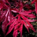 Emperor Japanese Maple Leaf