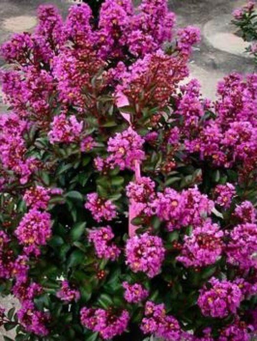 Enduring Summer Lavender Crape Myrtle