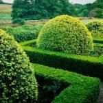 English Boxwood