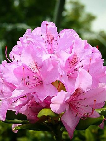 English Roseum Rhododendron Flower