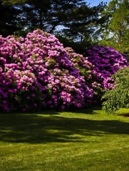 Pink Rhododendron English Roseum