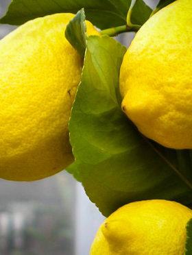 Eureka Lemon Tree