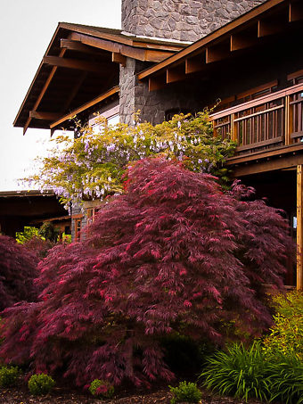 Ever Red Japanese Maple