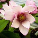 Fairy Blush Magnolia