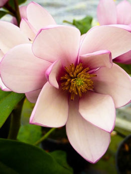Fairy Blush Magnolia