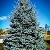 Mature Fat Albert Blue Spruce
