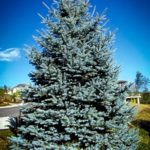 Mature Fat Albert Blue Spruce