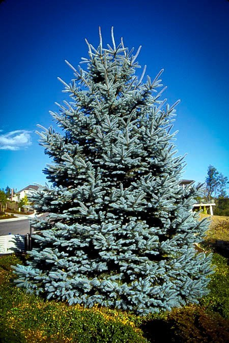 Colorado Blue Spruce For Sale Online The Tree Center