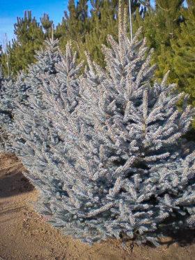 Fat Albert Spruce Tree