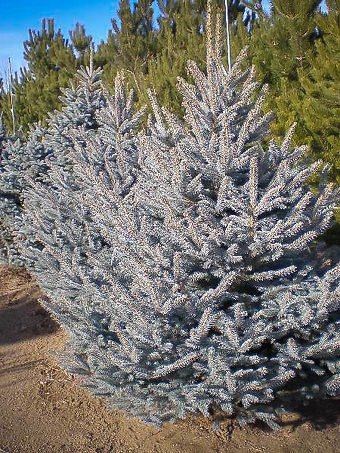 Fat Albert Spruce Tree