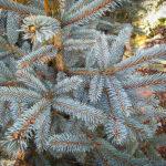 Fat Albert Spruce Needles