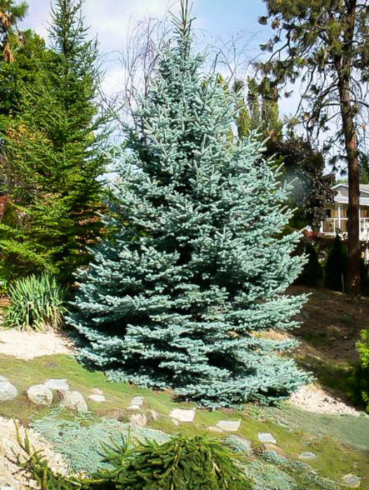 Fat Albert Colorado Blue Spruce