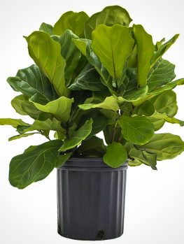 Buy Houseplants Online | Buy House Plants with Free Shipping | The